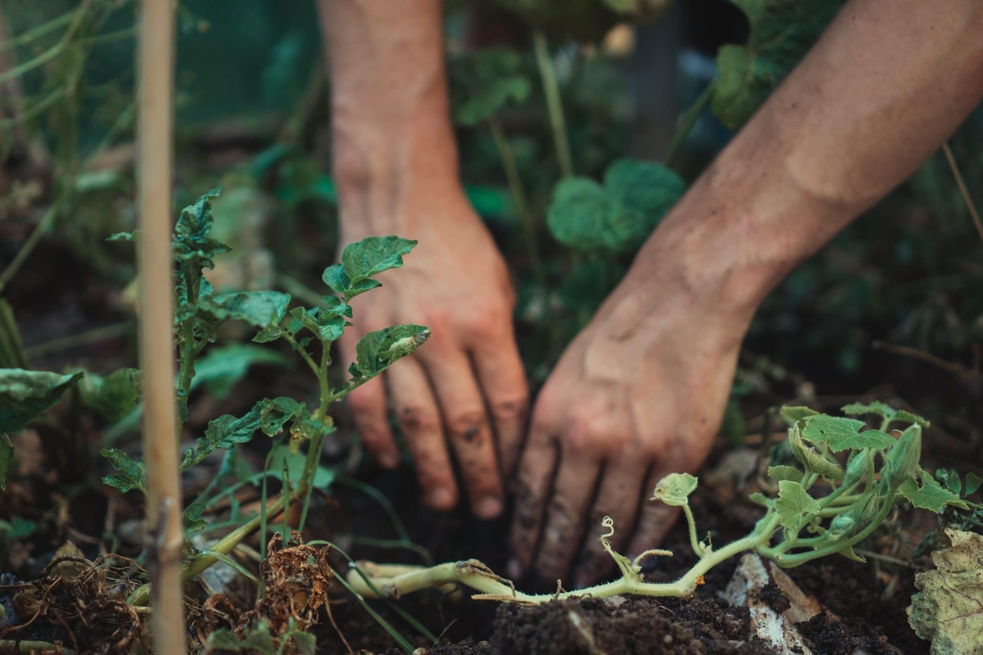 Hands in soil planting vegetables
